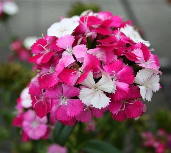 Sweet William 'Amazon Neon Rose Magic' (Dianthus barbatus ...