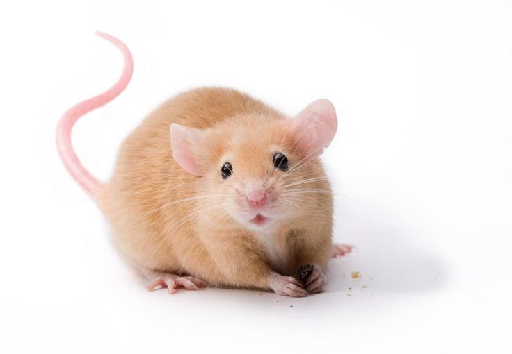 Helpful Tips on Caring for Pet Mice                                                                                                                                                                                 More