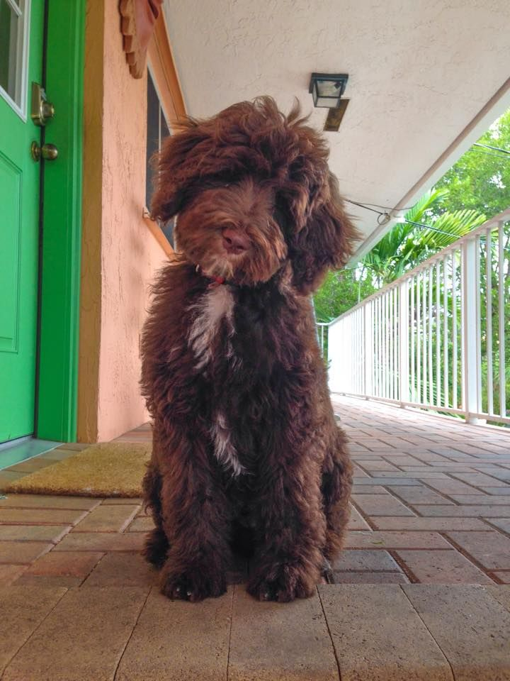 Chocolate Goldendoodle Moss Creek Goldendoodles                                                                                                                                                                                 More