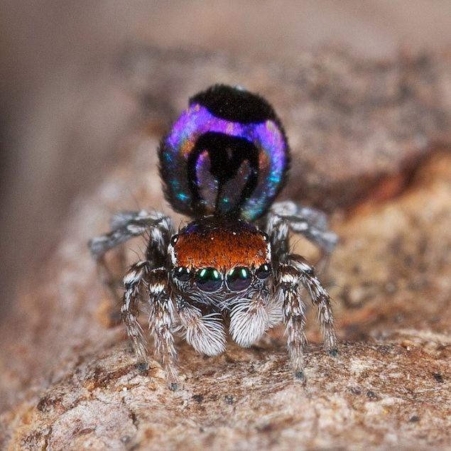 L' araignée paon