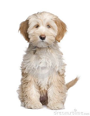 Tibetan Terrier / Tsang Apso / Dokhi Apso - If ever I decide to have more pets, how cute is this doggy?