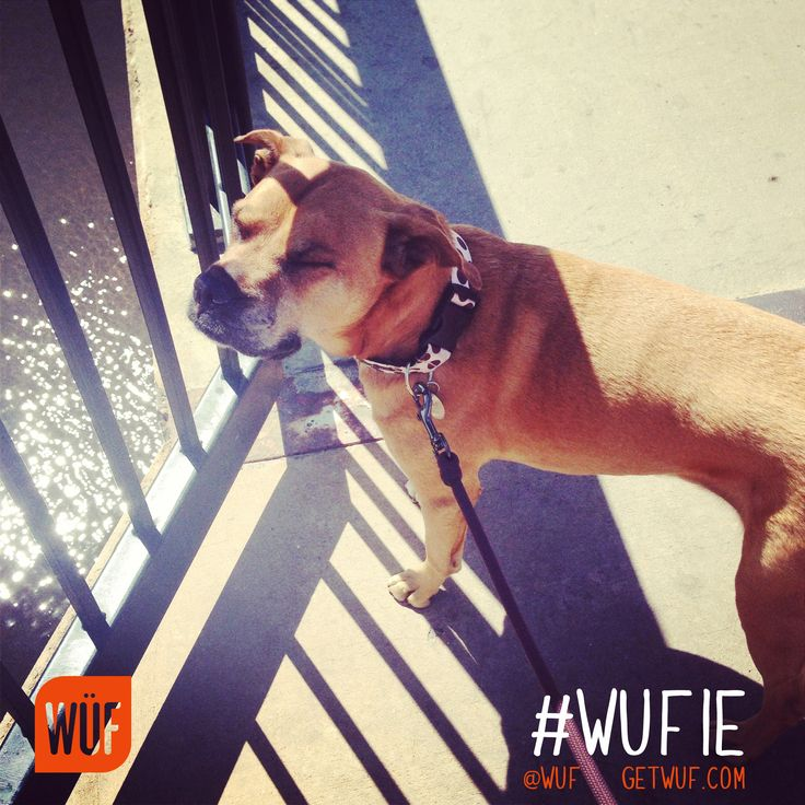 Want to be first to experience the world's smartest dog collar? Get in line here: http://www.getwuf.com/staytuned/   Post your #WUFIE's on Twitter and Facebook and Pinterest. A #WUFIE is a picture of your dog that best shows their awesome personalities.