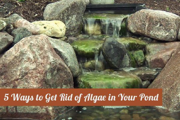 5 Ways to Get Rid of ALGAE in Your Pond