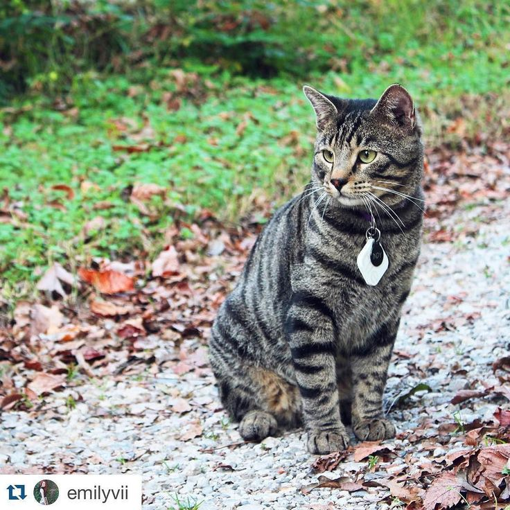 Purrfect #Repost @emilyvii  Everybody I know is posting about the OSU vs Baylor game today but I'm over here with the cat pics.  The white square on this guy's collar is a little gps to help me find it when he loses it which happens a lot and keeps me from having to replace his tags. Pretty handy! #Caturday #notafootballpost #tiledit  www.thetileapp.com