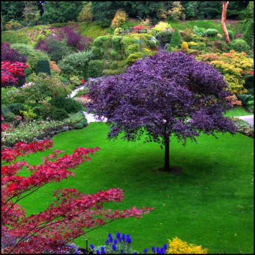 A Jacaranda tree blooms purple. They are beautiful!  I want one for my yard. :)