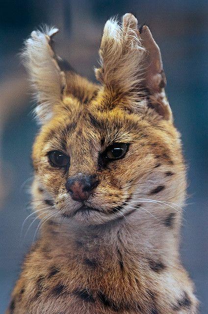 Leptailurus Serval (wild cat), Stuttgart, Germany. LOL @ cute ears!