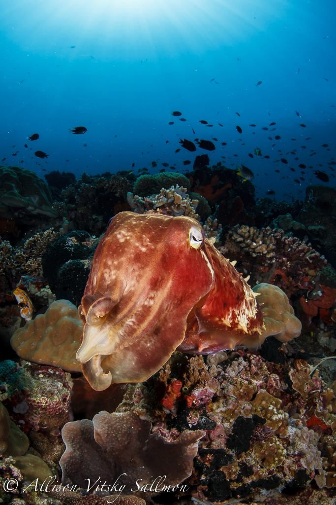 Gregarious cuttlefish in size large are present throughout the Strait. Feel like someone's watching you during your dive? You may discover one of these guys following you curiously. - Photo by Allison Vitsky Sallmon  #WideAngleWonder #Lembeh #Underwaterphotography — at Critters at Lembeh Resort.
