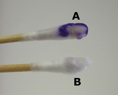 Oxydase // détection de cytochrome-oxydase ; réactif tétraméthyl-P-phénylènediamine 1% = receveur artificiel d'électrons ; Bleu = positif (oxydé), Incolore = négatif (réduit)
