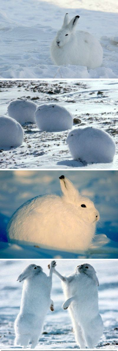 First they look like a snowball, Then they randomly high five eachother! Coolest bunny I think!