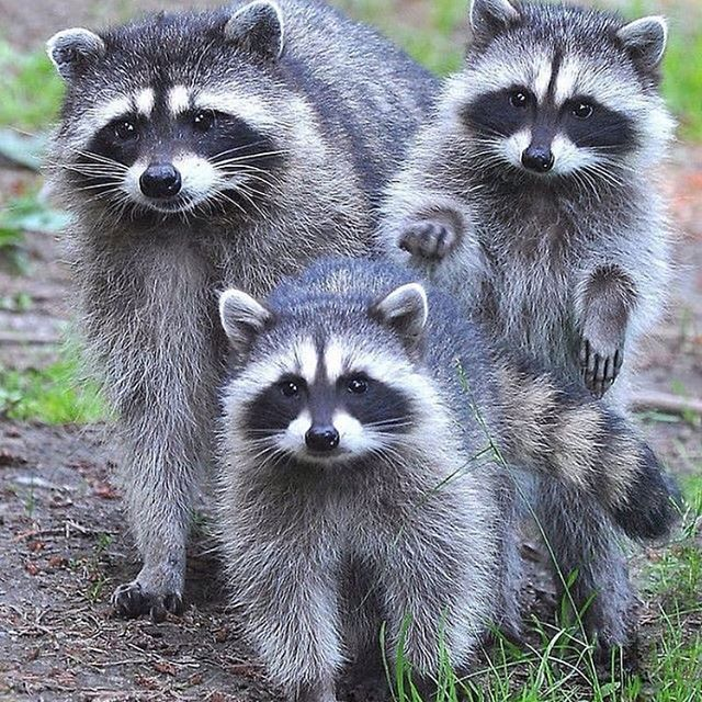 Tag Some animal lovers Cute animals, Cute raccoon