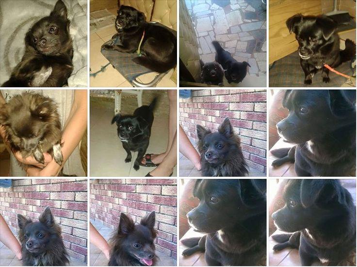 Cani Chiwawa e Volpino Pechinese in adozione