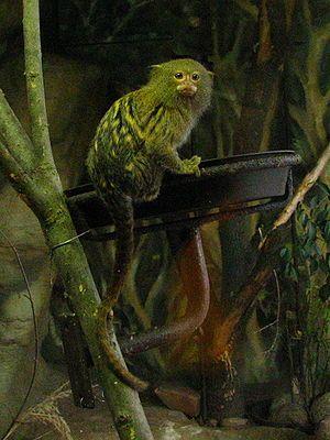 Ouistiti pygmée — Wikipédia
