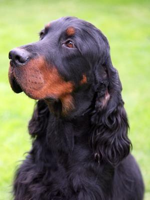 Pedigree KC Registered Gordon Setter Puppies in Bristol, South ...