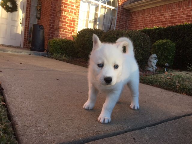 Siberian Husky Puppy For Sale In Forney Tx Adn 56305 On