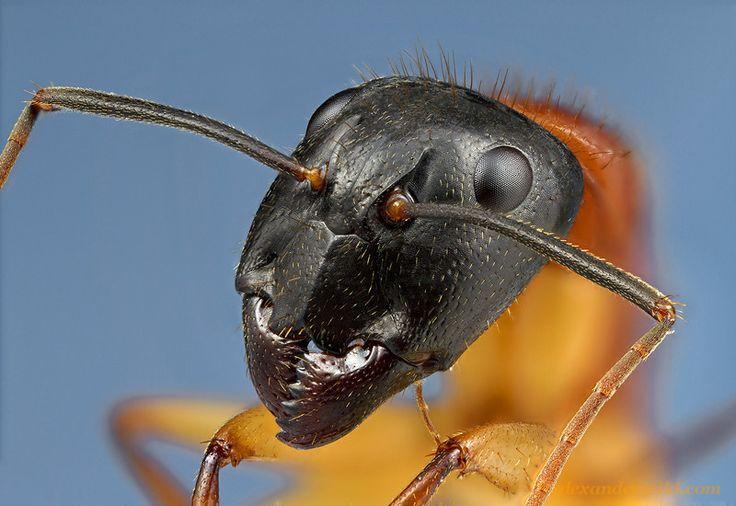 Výsledok vyhľadávania obrázkov pre dopyt mravce