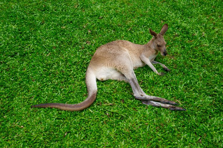 Le kangourou, l'emblème de l'Australie / Kangaroo, an icon in Australia