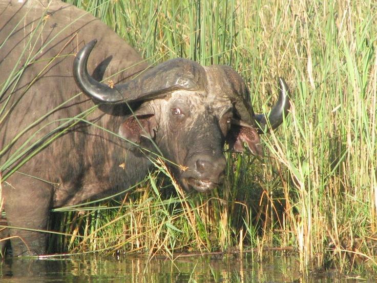 Buffalo taken on the Shoreline boat safari St Lucia South Africa