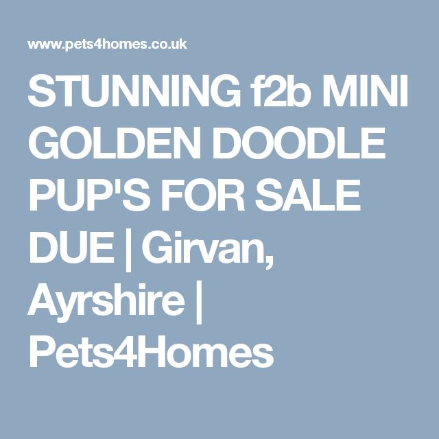 STUNNING f2b MINI GOLDEN DOODLE PUP'S FOR SALE DUE | Girvan, Ayrshire | Pets4Homes