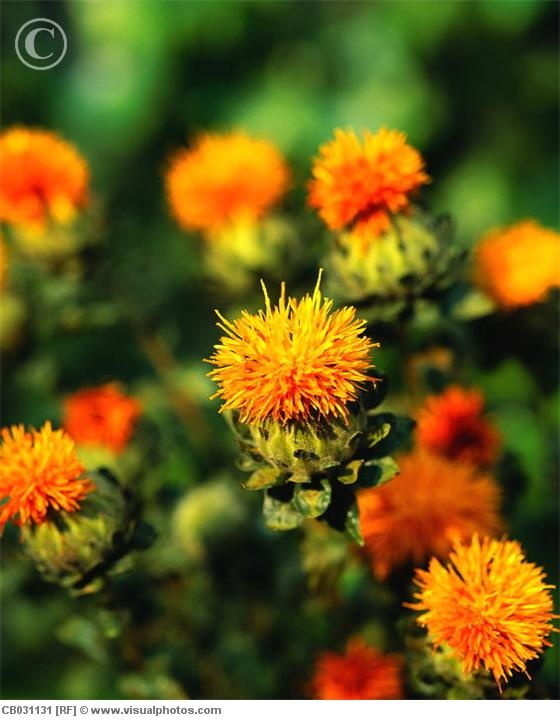 Safflower - a really fun texture for your oranges!