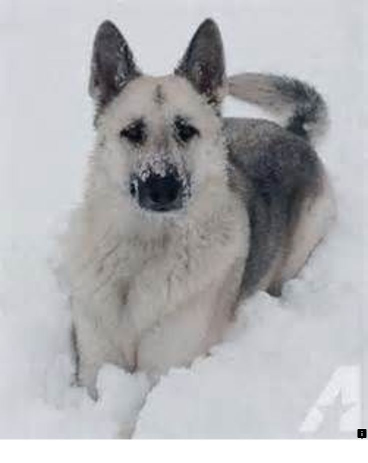 Go To The Webpage To Learn More On Teacup Dogs Follow The Link To Get More Information Do Not Miss German Shepherd Dogs German Shepherd Puppies Shepherd Dog
