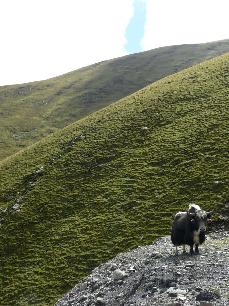 Staring at Yaks in Tibet.