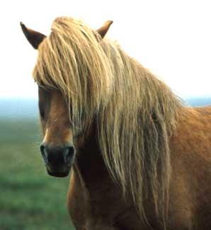 suomenhevonen,Finnhorse, what a beauty!