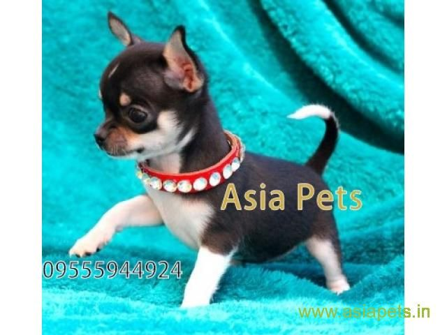 Tea Cup Chihuahua Puppy Sale In Chennai Price Chihuahua Puppies Puppies Chihuahua Puppies For Sale