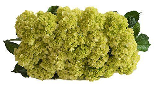 Farm-Fresh Hydrangeas in Bulk: 25 Fresh Mini Green Hydrangeas (Naturally Colored, Premium Quality) – Farm Direct Wholesale Fresh Flowers