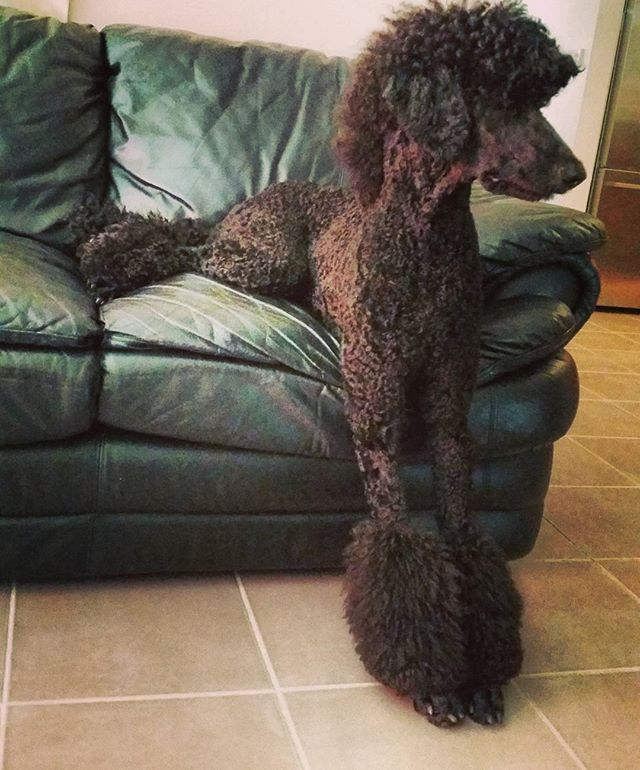 New type of relaxing  #fancydogs #poodles #doglovers #bestdogintheworld #dogsofinstagram #standardpoodlesofinstagram #ilovelouis #standardpoodlesrock #expensiveanimals #standardpoodle #minipoodles #bestpoodle #poodlelove @pony_cut_poodle