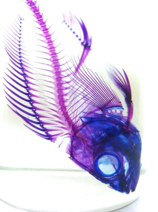Fish Transparent Skeleton Specimens