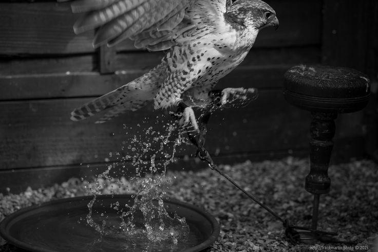 Falcon https://flic.kr/p/yXQCd5