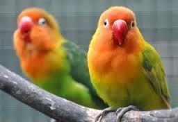 Berkicau Mania: Tips Mengatasi Burung Lovebird Terserang Kutu