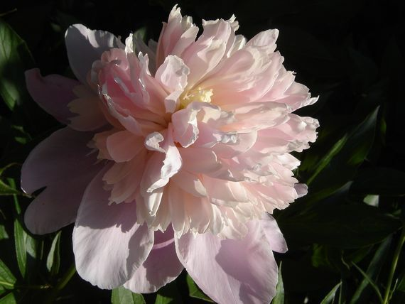 Peonies ~ Had I but four square feet of ground at my disposal, I would plant a peony in the corner and proceed to worship.   –Alice Harding, The Book of the Peony