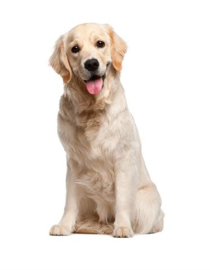 The Dog Traning Secret Just Another Wordpress Site Golden