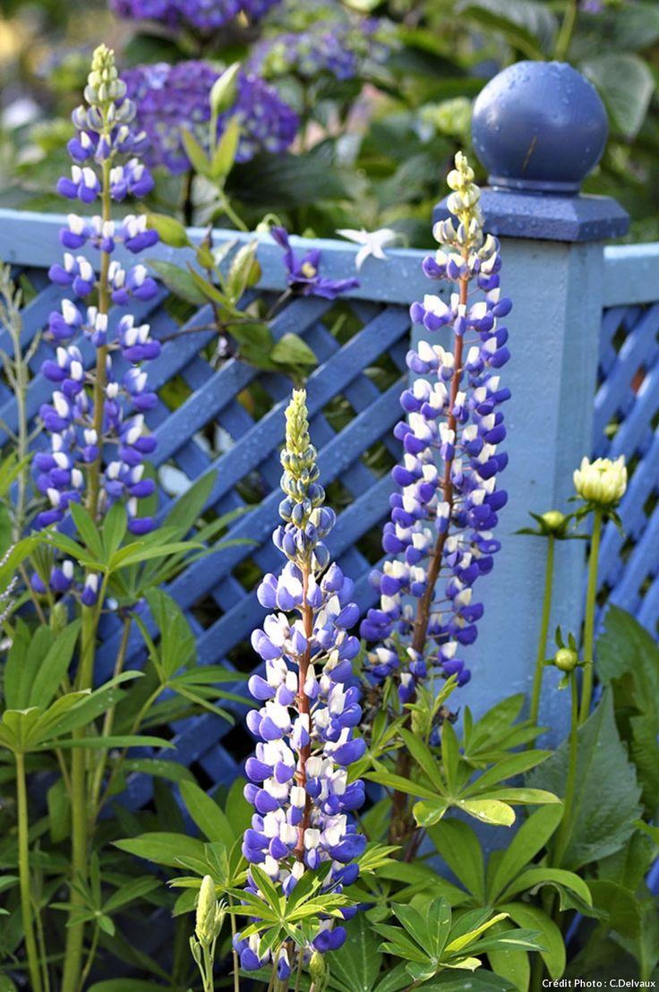 Les lupins sont des vivaces faciles à cultiver. Ils sont aussi beaux en massif, comme les lupins blancs 'Noble Maiden', qu'isolés comme 'The Governor', blanc et bleu profond (ci-dessus). Coupez les fleurs fanées après la floraison estivale.