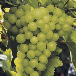 112 best images about plants i want to grow on pinterest for Table grapes zone 6