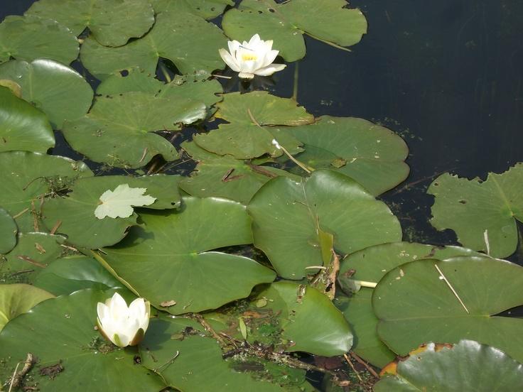 Lily Ponds - Bosherston