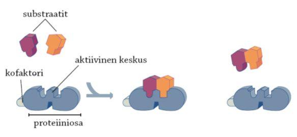 #entsyymi #proteiini #substraatti #konfaktori