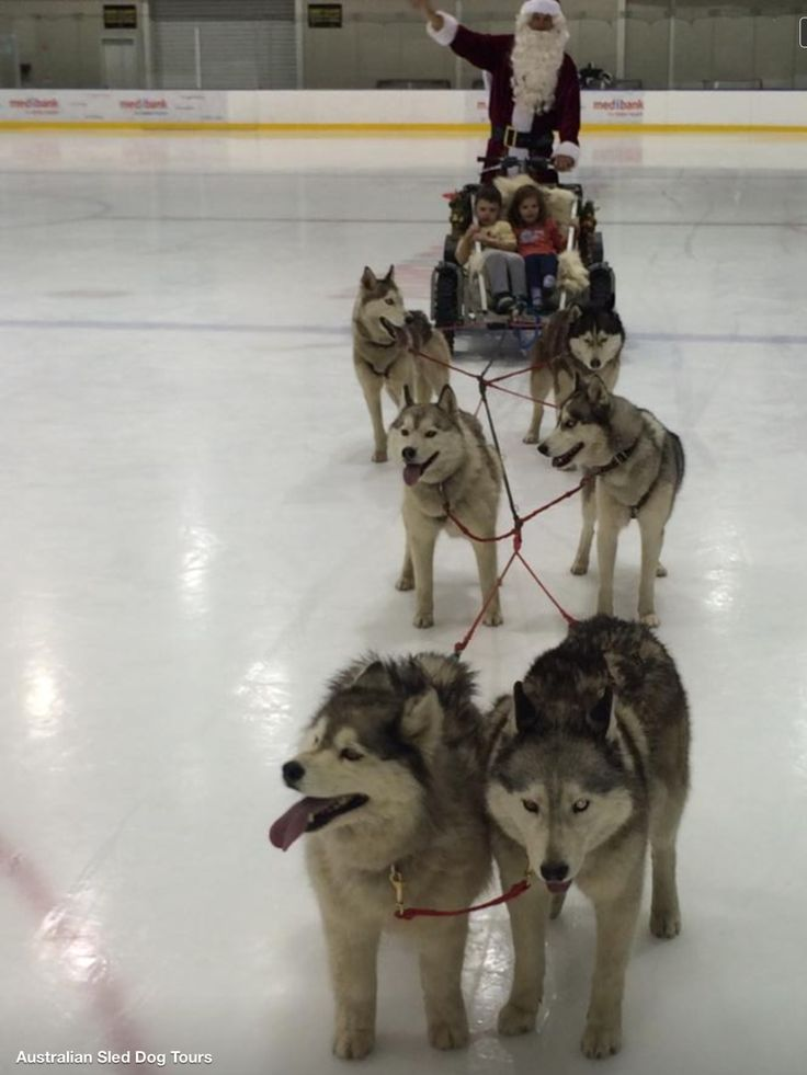 Hockey Huskies Pulling Santa In Australia Husky Dogs