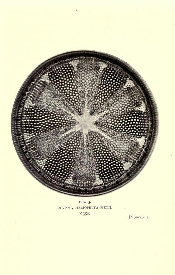 Diatom (algae), Photo-micrographs created by Arthur E Smith, featured in Nature Through Microscope & Camera (1909) by Richard Kerr.