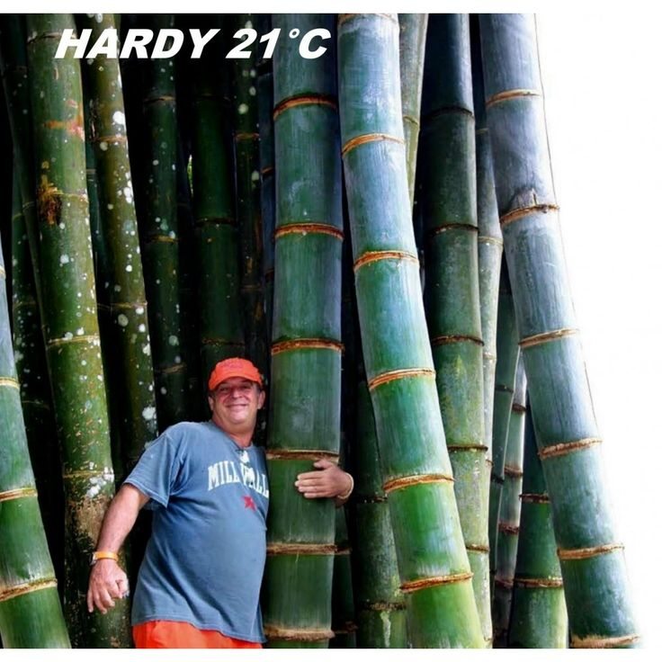 Giant Bamboo seeds  1,80€  Giant Bamboo seeds (Phyllostachys pubescens) Price for Package of 5 seeds. Phyllostachys pubescens, common name Moso bamboo is a monopodial bamboo, An absolute giant in all respects, with blue-green culms (canes) and dense arching foliage and have a fuzzy texture. The distinctive internodes are very short near the ground, then lengthen to a foot or more higher up the culm.