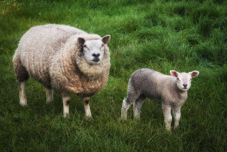 moutons-sheep_147327