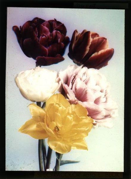 Tulpenfoto van Leendert Blok. Een voorbeeld van vroege kleurenfotografie volgens het spectracolor-proces.