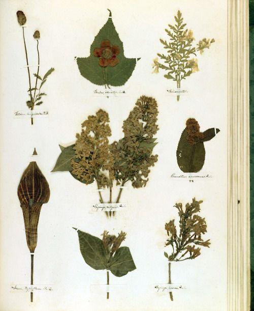 アメリカの現代詩の母、エミリー・ディキンソンの『植物標本集』よりディキンソンは 生前は全く無名であったが、1700篇以上残した作品はアメリカの現代詩の出発点とされている。詩を封筒や屑紙に書くことが毎日の戯れだったが、その他に 自分の庭に植物を育つことが熱心だった。『植物標本集』にそれぞれの植物を集めたので、十九世紀のアメリカの植物を研究するために、貴重な資料になってい る。  From Emily Dickinson: HerbariumIn honor of National Poetry Month 2012  Courtesy Boston Public Library and poetsorg