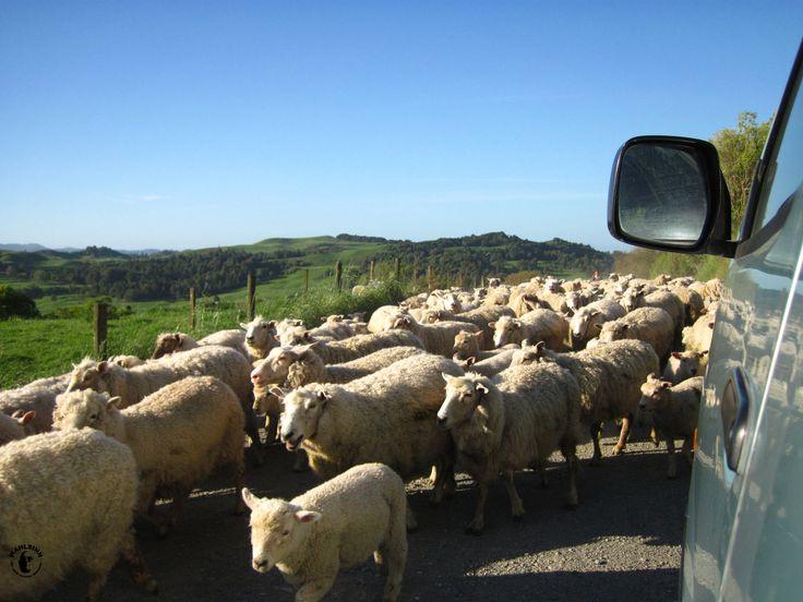 Die Bevölkerungsstärkste Gruppe auf Neuseeland