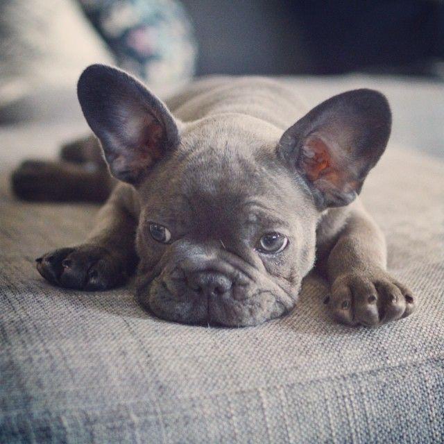 frank_the_funnyfrenchie's photo on instagram, French Bulldog Puppy