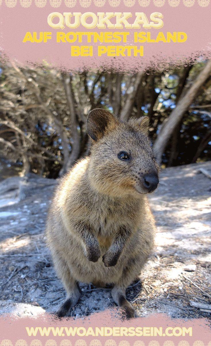 Grinsende Quokkas Auf Rottnest Island Bei Perth Australien Reise Australien Urlaub Reisen