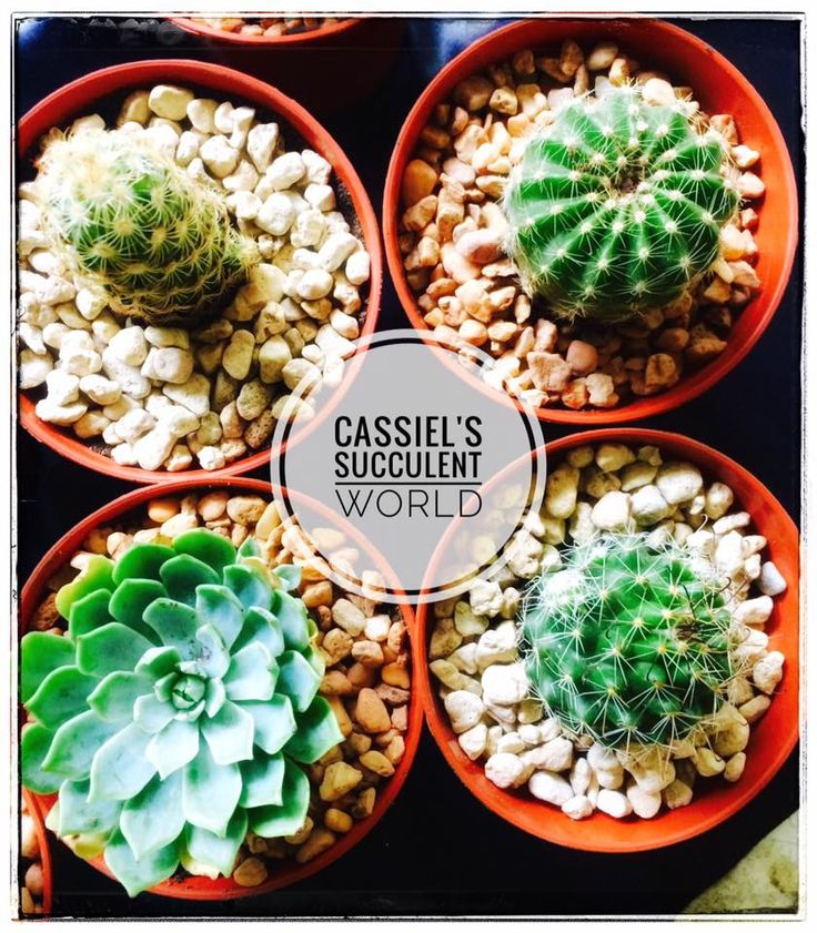 Succulent and Cactus Plants for Sale in Cebu!... Visit our FB Page now or contact 09421869629 for your orders.