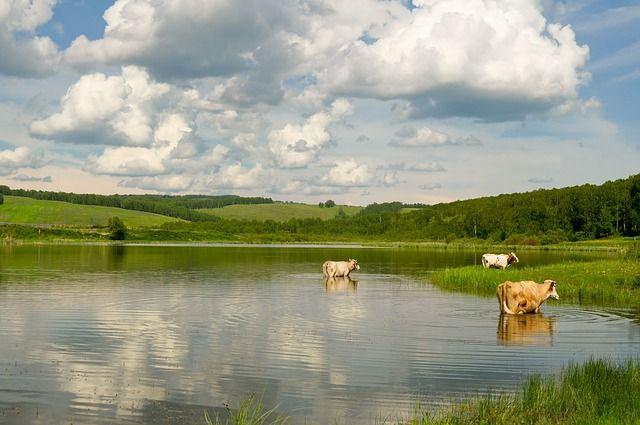 Cow, Lake, Landscape, Nature, Water - Free Image on Pixabay
