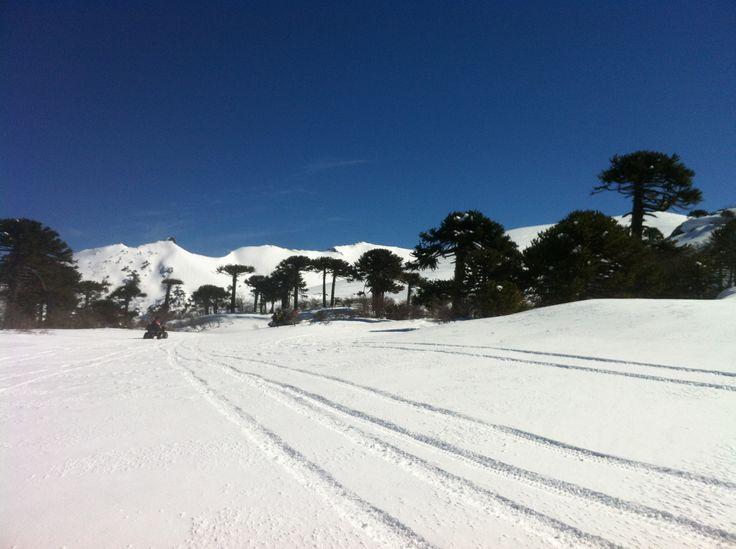 paisaje con  araucarias  y entorno  nevado